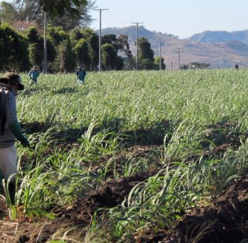 A worker sprays pesticide on a sugar cane field.
